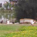 Ducks In Park